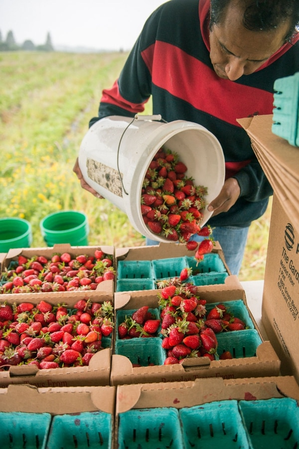 Javier Lara grows strawberries in Molalla and pays workers by the hour, not the pound.