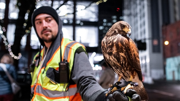 Matteo Brunozzi of Integrated Avian Services with a juvenile Harris' hawk which helps chase crows out of downtown Portland. (Wesley Laponte)
