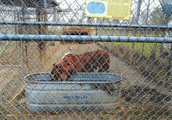 Cheryl Jones says the big cats are kept in smaller cages when visitors come to the property—for safety. (Clackamas County)