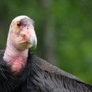 California condor in Condors of the Columbia at the Oregon Zoo. © Oregon Zoo / photo by Michael Durham.
