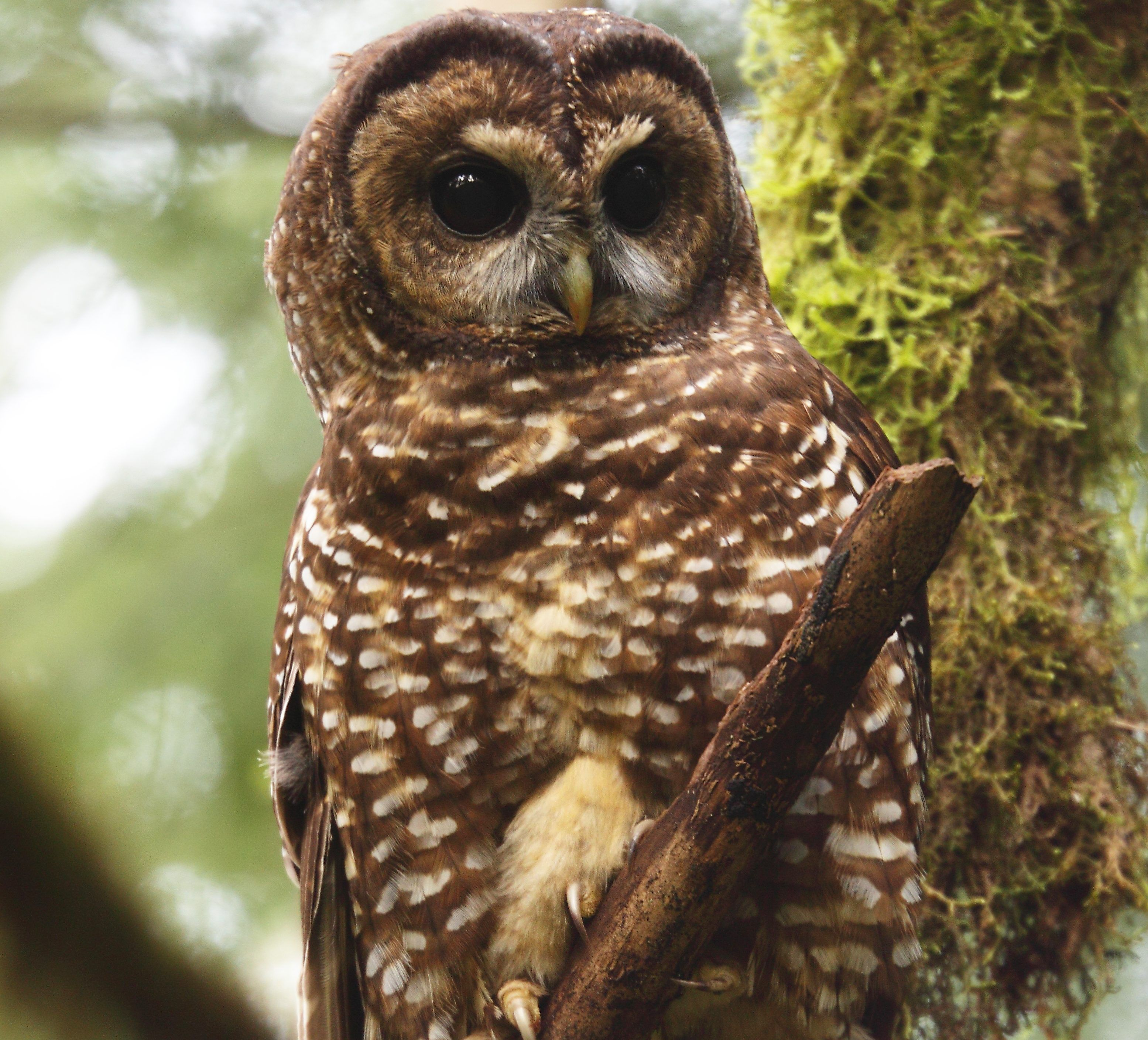 U.S. Fish and Wildlife Service Says Oregon's Spotted Owl Should Be Reclassified as an Endangered Species