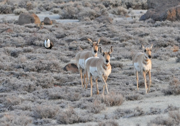 Antelope and greater sage grouse in California. (U.S. Fish & Wildlife Service)