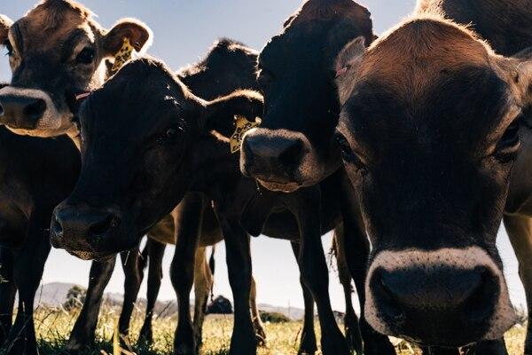 Cows along Mccormick loop in Tillamook, Ore. on August 15, 2020. (Alex Wittwer)
