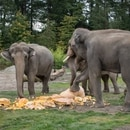 Elephants smash and eat giant pumpkins during the Oregon Zoo's annual Squishing of the Squash. IMAGE: Micah Reese/Oregon Zoo.