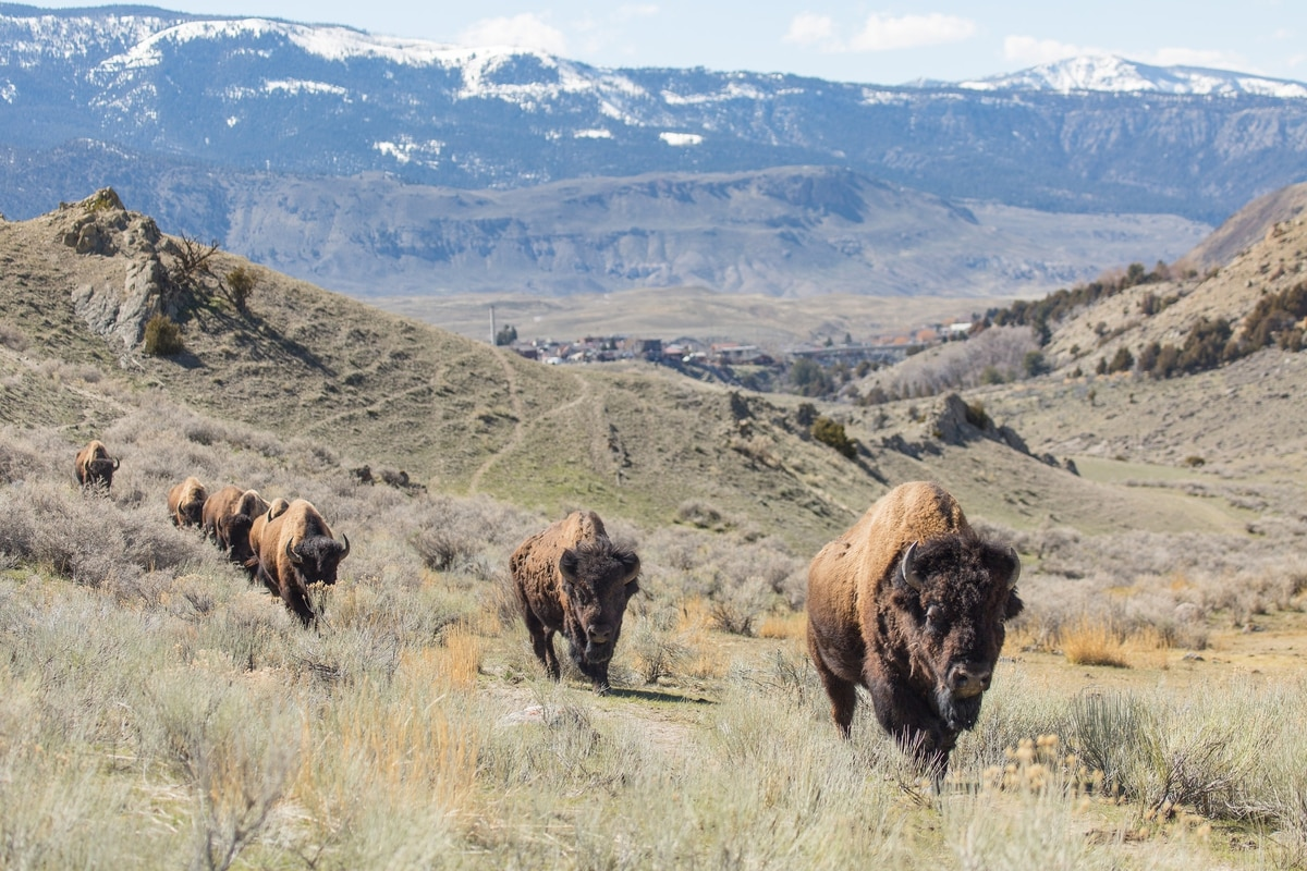 oregon man gets 130 days in jail for taunting bison during pre rehab