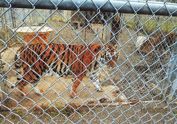 Clackamas County officials captured shots of a tiger pacing up and down its cage during a 2014 site visit to A Walk on the Wild Side's Canby property. (Clackamas County)