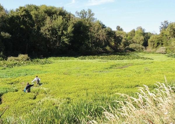 (Primrose in Benton County, Western Invasives Network)