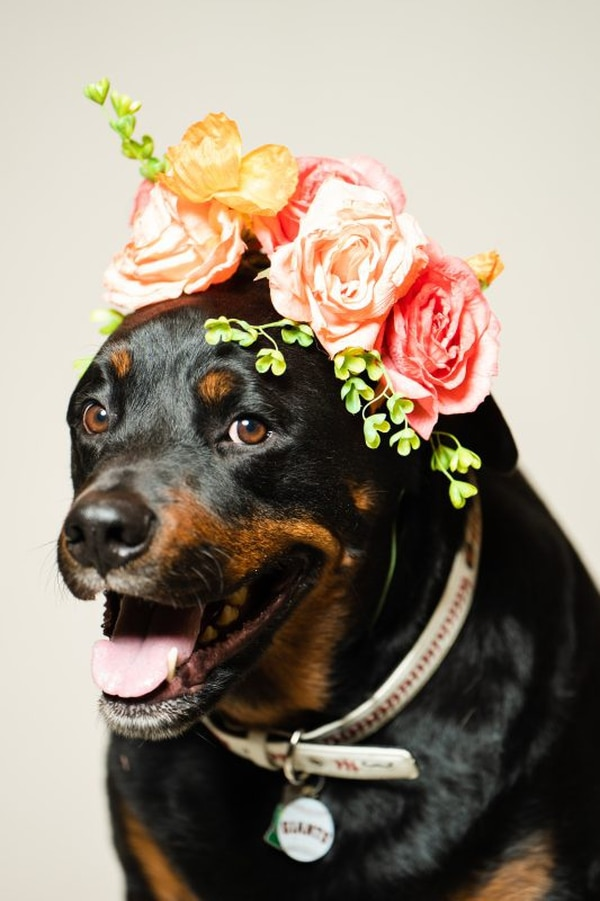 "Rocco, ""Heart of Gold"" title winner 2019. How can you not melt looking at this sweet face? This 4-year-old Rottweiler is sweet, gentle and great with kids, strangers and other pets. (Christine Dong)"