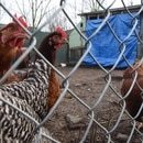 Chickens in North Portland. (Joe Riedl)
