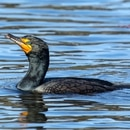 Double-crested cormorant. (Mick Thompson)