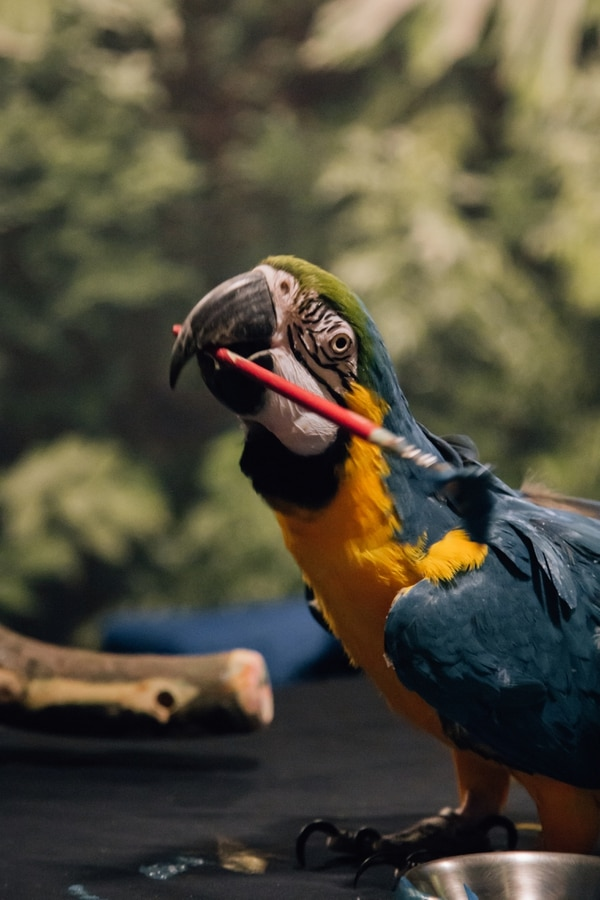 Pelé the macaw grabs a brush to paint us a landscape. (Henry Cromett)