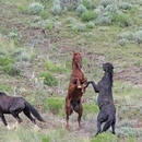 Wild horse roundup in Idaho. (Bureau of Land Management Idaho)