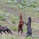 Wild horse roundup in Idaho. (Bureau of Land Management Idaho)
