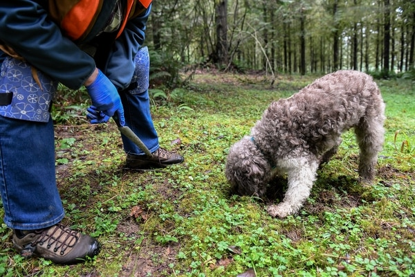 Digging In: Isis, a 9-year-old Lagotto Romagnolo, sniffs for truffles in rural Clackamas County. (Justin Katigbak)