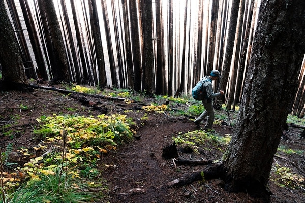 Eric Wheeler, a member of Friends of the Columbia Gorge, hikes through a burnt section of forest on the Mount Defiance Trail. (Wesley LaPointe)