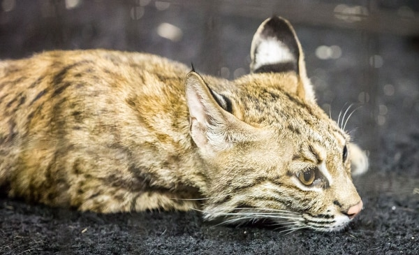 A Canada lynx at the Jackson County Fair. (Paul Steele)