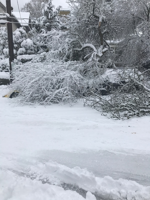 A tree covering two cars in NW Portland (Julie Collins).