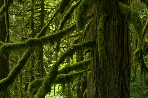 Moss on red cedars along the Hunchback Trail in Mount Hood National Forest. (David Prasad / Flickr)