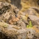 Pika visible on a talus slope in the Columbia River Gorge. © Oregon Zoo / photo by Michael Durham.