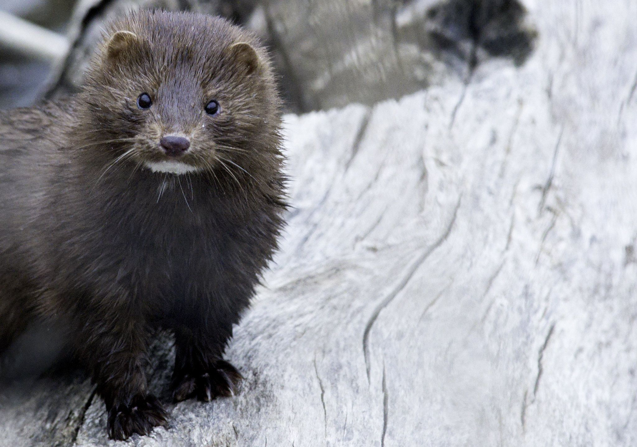 Health Officials Announce a Confirmed COVID-19 Outbreak at an Oregon Mink Farm