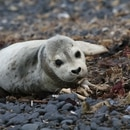 A seal pup at Yaquina Head Outstanding Natural Area—which is land currently unattended during the shutdown. (Bureau of Land Management Flickr/Meredith Matherly)