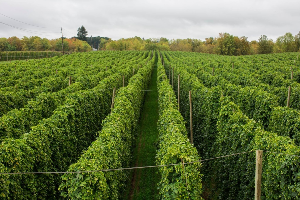 A Woodburn Hop Farm Is Opening A Beer Garden Right In The Middle Of Its Crop Field Willamette Week