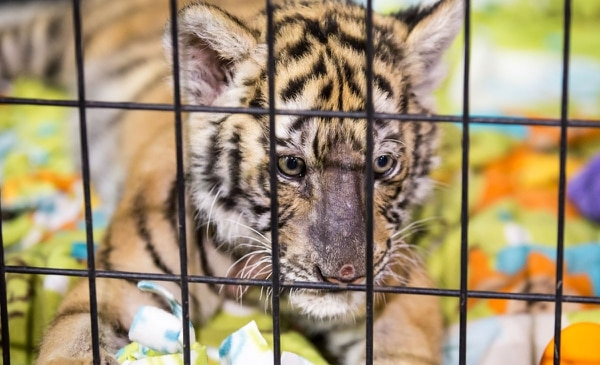 "SORE SPOT: Zarah, a 3-month-old Bengal tiger, rubbed her face raw before the Jackson County Fair this month. ""They rub,"" says Cheryl Jones. ""Some cats more so than others because they want to be out with you."" (Paul Steele)"