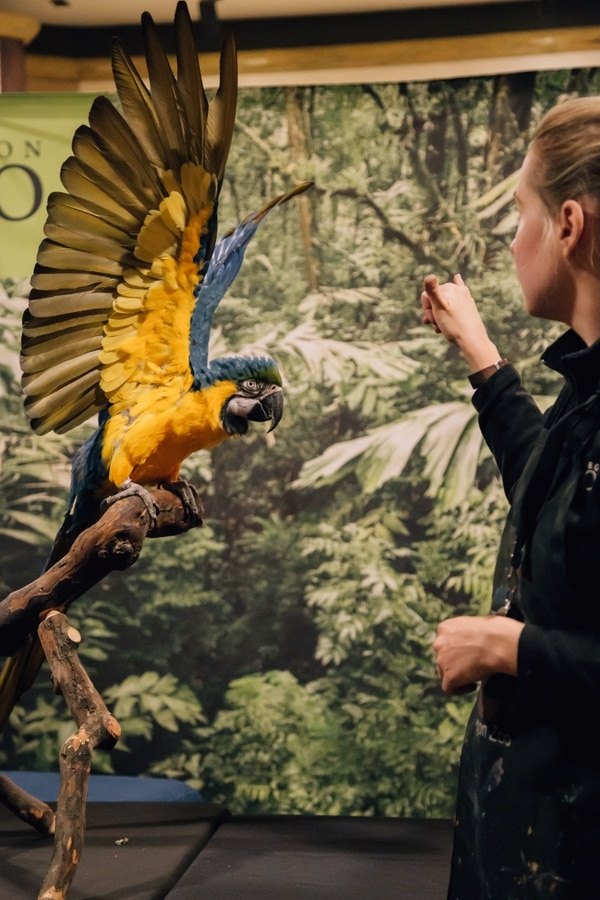 Pelé shows his massive wingspan to his animal specialist, Jerrica. (Henry Cromett)