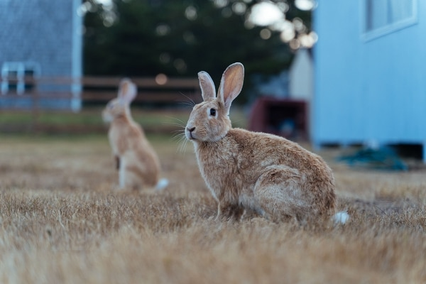 Rabbits are a common sighting along the Oregon Coast, having been introduced in the 1980s and rapidly increasing in population. Over recent years, natural predators and migration has dwindled their numbers in Pacific City, as well as other coastal towns in Oregon. (Alex Wittwer)
