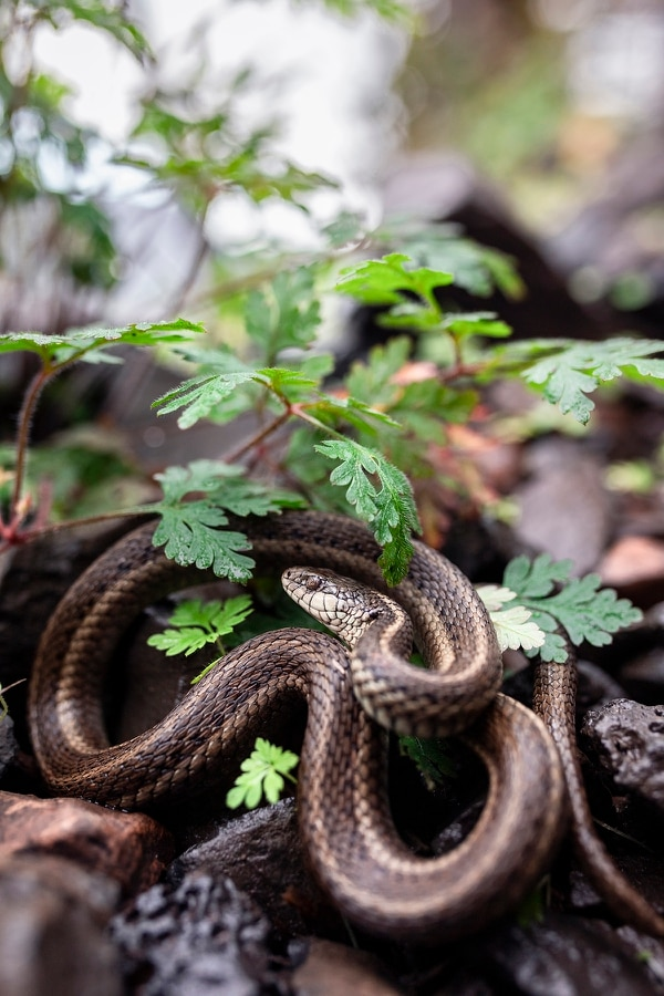 A native garter snake curls up under the widespread invasive plant herb Robert on the Wahkeena Falls Trail. (Wesley LaPointe)