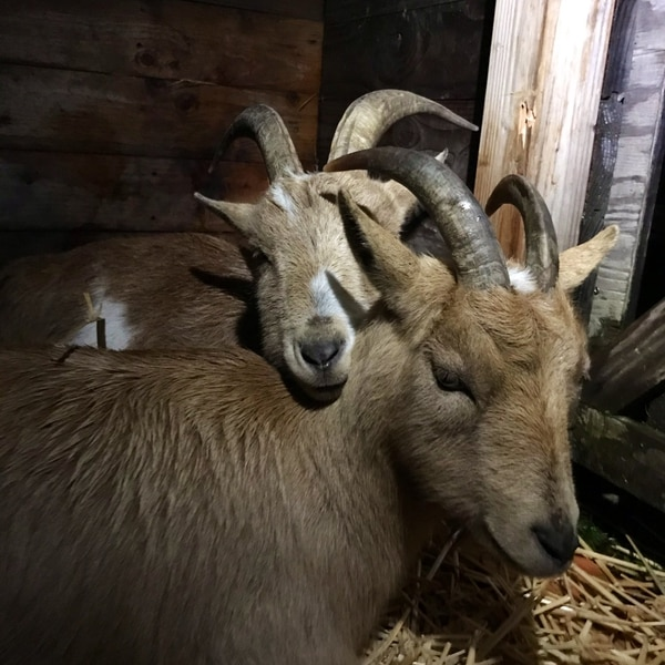 Bambi and Cooper on their first night in North Portland. (Courtesy of the Belmont Goats.)