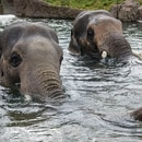Bull Asian elephants Samudra (left) and Samson in the pool at Elephant Lands. © Oregon Zoo / photo by Michael Durham.